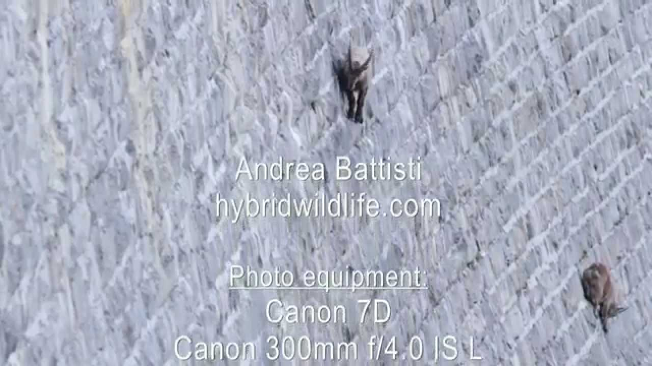 Alpine Ibex on Dam - hybridwildlife.com