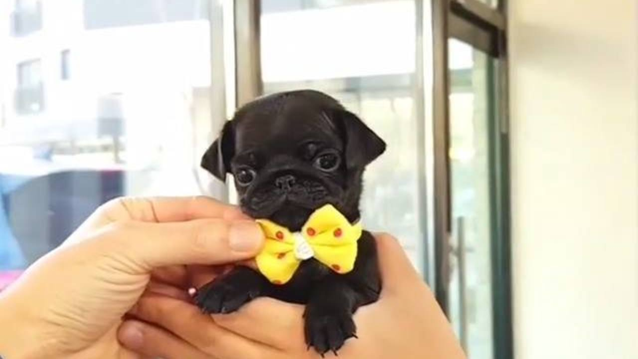 This little pug wearing a bow tie is too much 😂😂