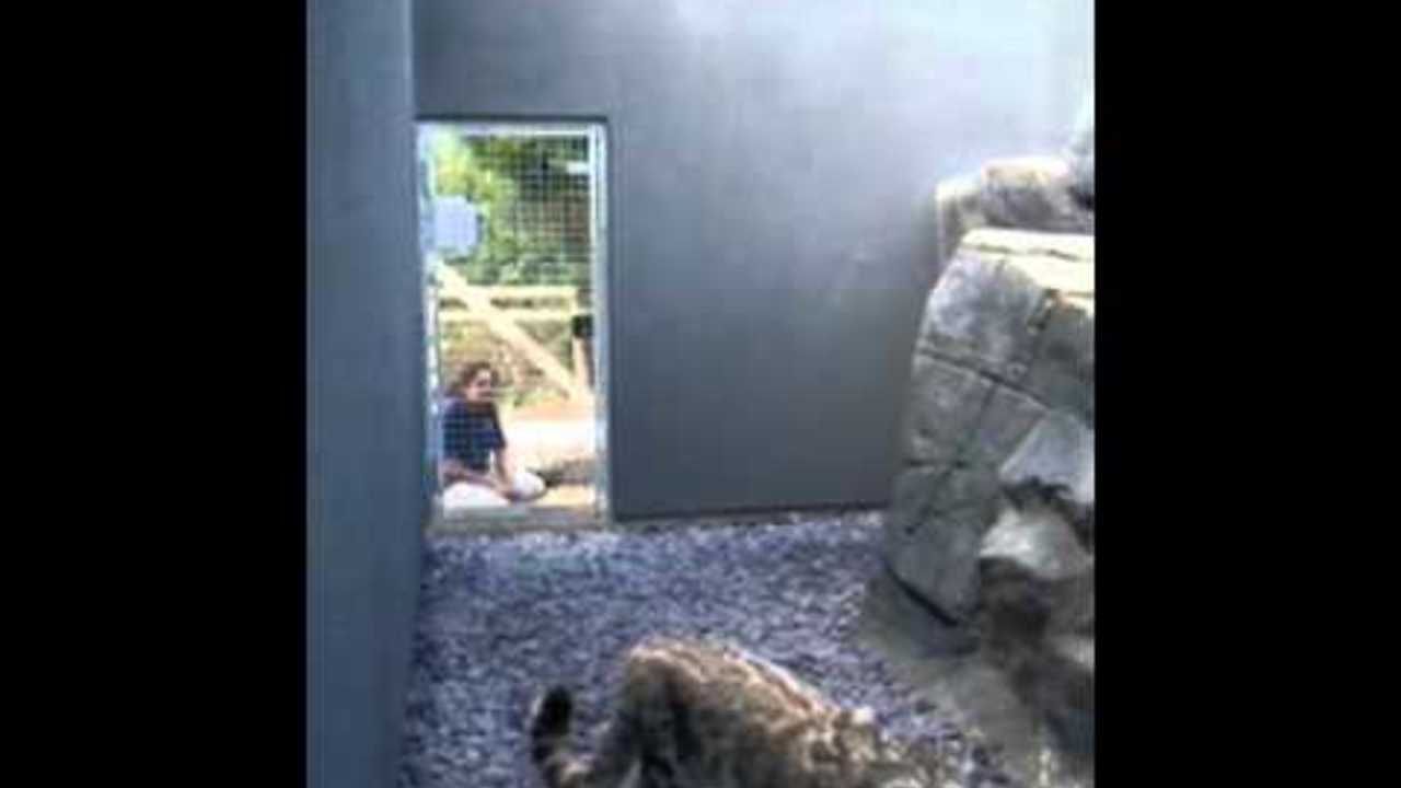 Snow Leopard Jumps On Walls