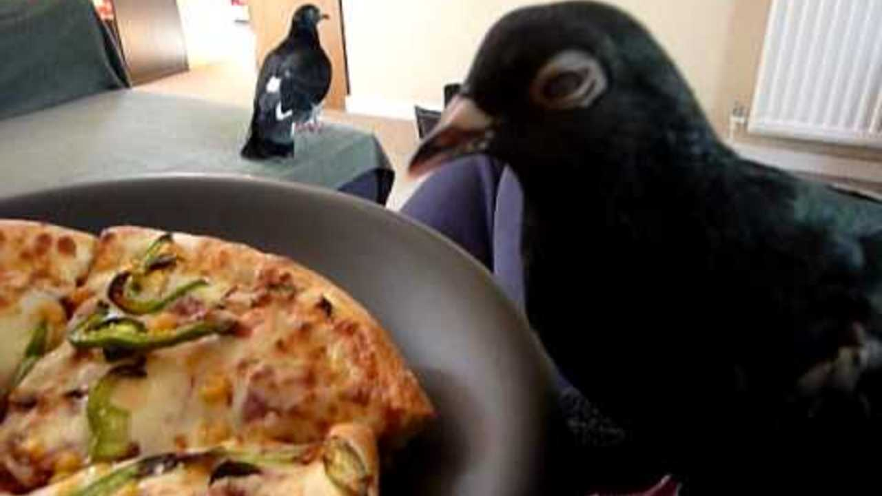 Pet pigeon (Georgie) trying to steal my pizza