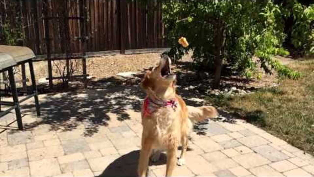 Fritz the Dog Tries to Catch Pizza Hut Cheesy Bites
