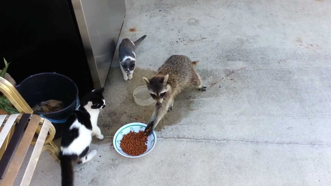 Raccoon Steals Cats' Food (Original)