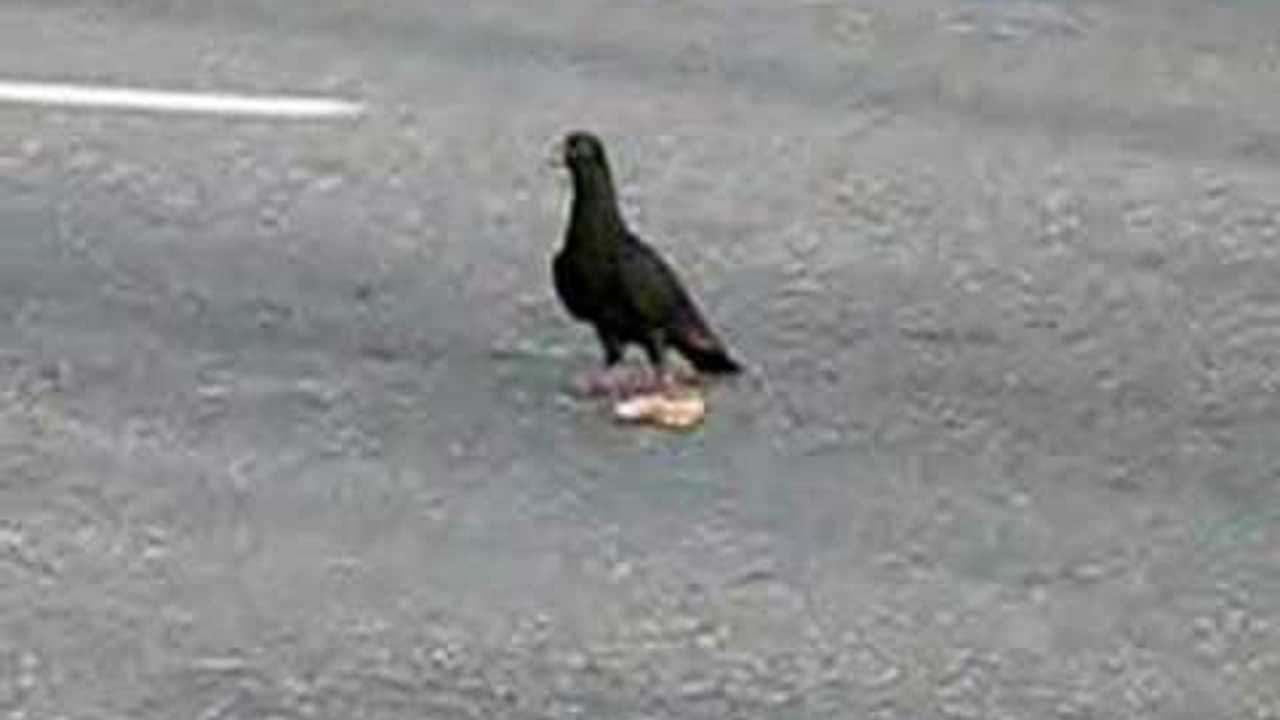 Pigeon eating pizza crust