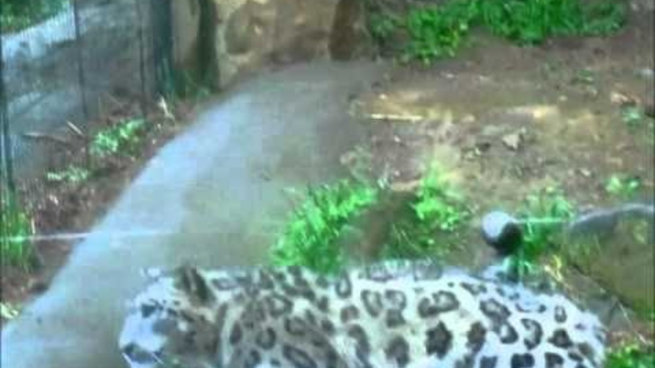 A snow leopard makes a 360 ° rotation jumping against a wall (Japan)